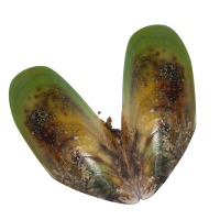 mussel_icon
